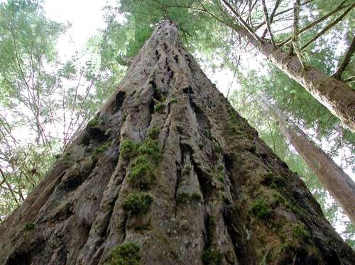 02_redwood_tree