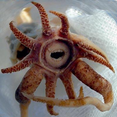 Coral_squid_teethjpg