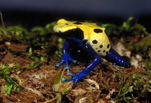 Dyeing_poison_frog_med