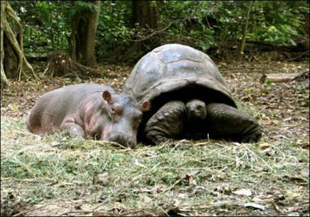 Hippo_tortoise